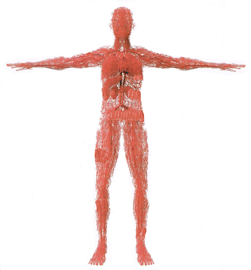毛細血管の流れ